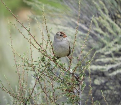 White crowned sparrow in the brush at Indian Ford Meadow Preserve. Photo: Eric Olson.