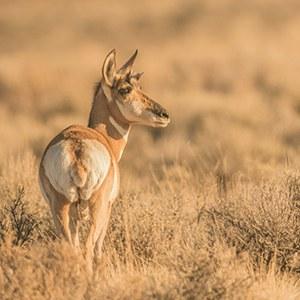 Aspen Valley Ranch protects pronghorn habitat. Photo: Angela Bohlke.