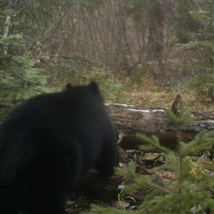 A black bear in early December. Photo: Land Trust.