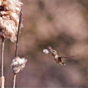 A female Anna's hummingbird at Camp Polk Meadow Preserve. Photo: Kris Kristovich.