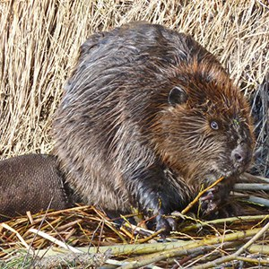 A quite round-looking beaver in the early winter. Photo: Jay Bowerman.