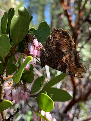 A California tortoiseshell emerges in the spring with tattered wings from overwintering. Photo: Land Trust.