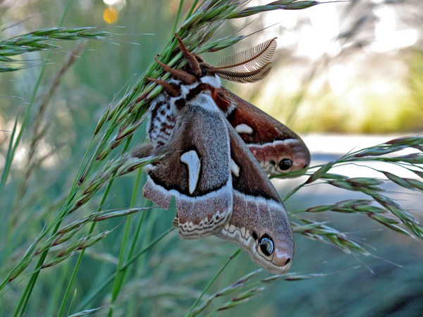 Cercropia Moth perched on grasses. Photo: Land Trust.