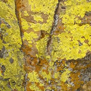 Pleopsidium flavum. Photo: Douglas Vincent.