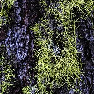 Letharia vulpina. Photo: Steve Pedersen.
