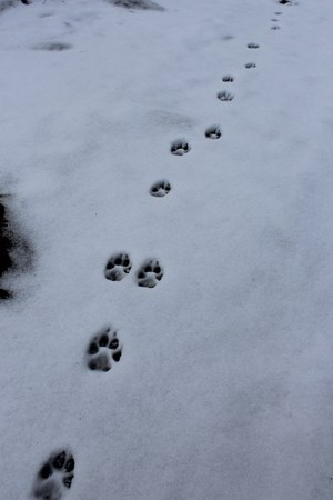 Canine tracks usually have claw marks. Photo: Land Trust.