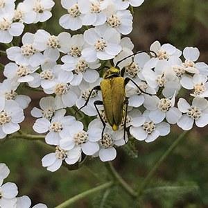 A yellow beetle. Photo: Joan Amero.