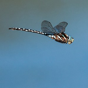 A dragonfly in flight. Photo: John Williams.