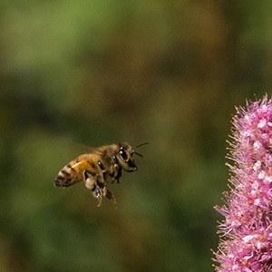 A bee in flight. Photo: Kris Kristovich.