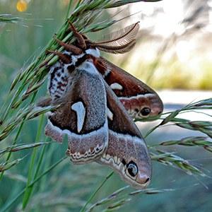 Cercropia moth. Photo: Land Trust.