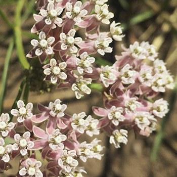 Narrowleaf milkweed. Photo: Land Trust.