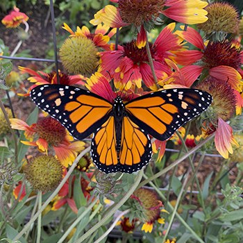 A monarch rests on blanketflowers. Photo: Land Trust.