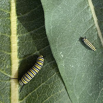 Milkweed leaves provide food for monarch caterpillars. Photo: Land Trust.
