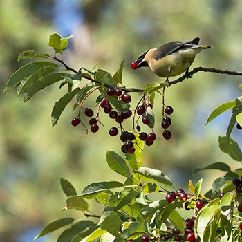 A cedar waxwing eats berries. Photo: Kris Kristovich.