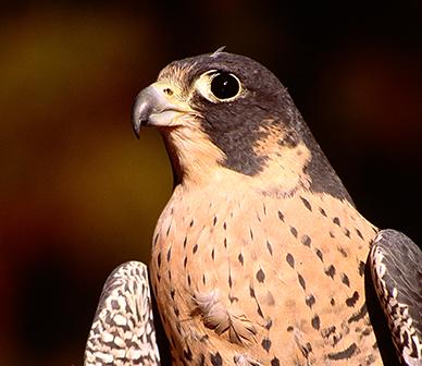 Peregrine falcon. Photo: Alan St. John.