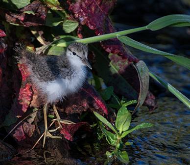 Spotted sandpiper. Photo: Kris Kristovich.