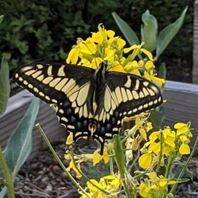 Anise swallowtail. Photo: Basey Klopp/Bend Pollinator Pathway.