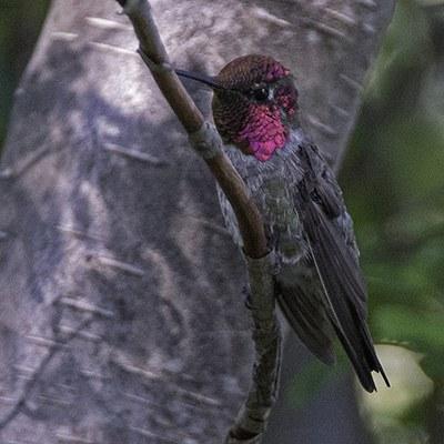 Anna's hummingbird. Photo: Kris Kristovich.