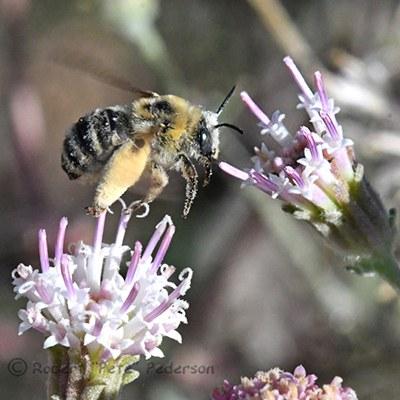 "Long-horned bee. Photo: R.L. ""Pete"" Pederson."