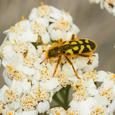 Ornate checkered beetle. Photo: Sue Anderson.