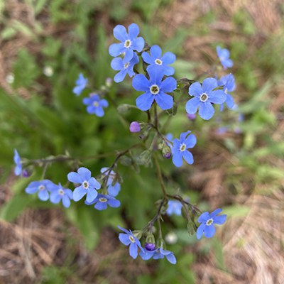 Blue stickseed. Photo: Land Trust.