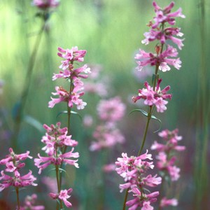 Penstemon peckii or Peck's penstemon (pink morph), a rare plant found only in Sisters, OR. Photo: Maret Pajutee.