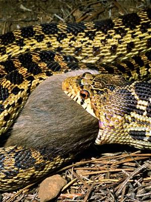 Gopher snake swallowing a rat. Photo: Alan St. John.