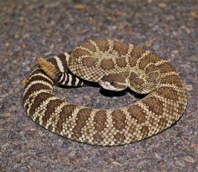 Was it a rattlesnake like this one on her patio? Photo: Alan St. John.