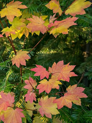 Look for the palm-shaped leaves of the vine maple on your next fall hike. Photo: Tim Cotter.