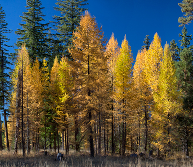 JM.MP_larch forest_lead.jpg