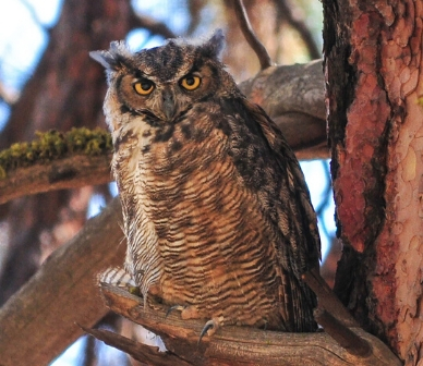 Great horned owl. Photo: Krist Kristovich.