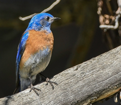 Western bluebird. Photo: Kris Kristovich.