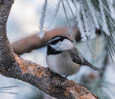 Mountain chickadee. Photo: Kris Kristovich.