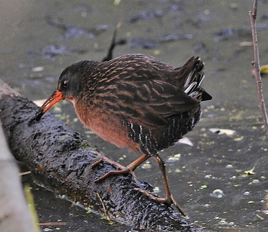 Virginia rail. Photo: Kris Kristovich.
