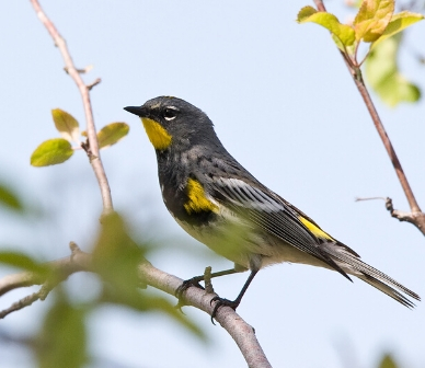 Yellow-rumped warbler. Photo: John Williams.