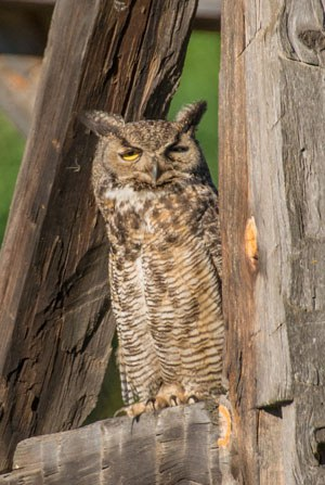 A great horned owl at Camp Polk Meadow Preserve. Photo: Kris Kristovich.