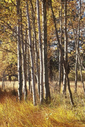 Aspens at Indian Ford Meadow Preserve. Photo: Byron Dudley.
