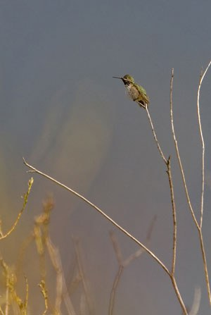 Hummingbird at Indian Ford Meadow Preserve. Photo: Jay Mather.