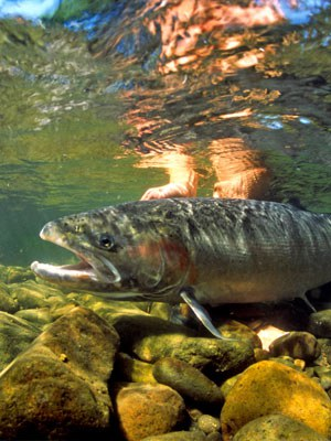 Steelhead. Photo: Brian O'Keefe.