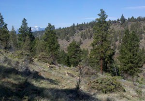 Juniper were removed from ponderosa pine stands at the Preserve. Photo: Land Trust.