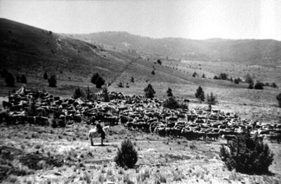 Central Oregon cattle drive. Photo: Bowman Museum.