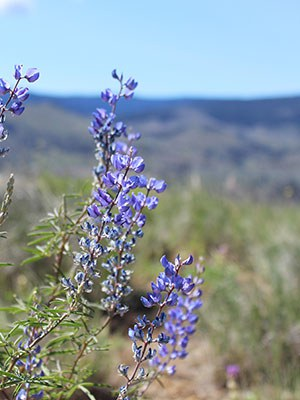 Lupine bloom at Aspen Valley Ranch. Photo: Land Trust.