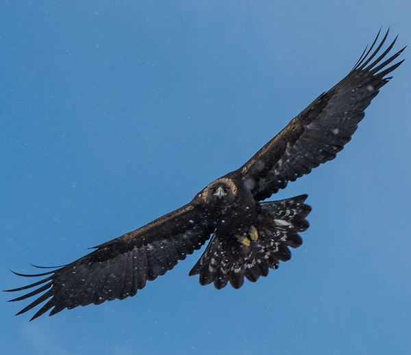 Ten Facts about Golden Eagles