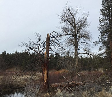 Ugly Beautiful: How dead trees are bringing life to our forests.