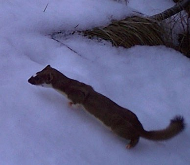 Weasels: Central Oregon's Tiniest Winter Warriors