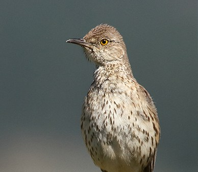 What is a Sage Thrasher?