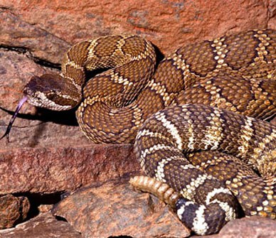 Are there rattlesnakes in Bend, Redmond, Prineville or Madras?