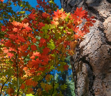 It's leaf peeping season! Soak in fall colors with the glorious vine maple.