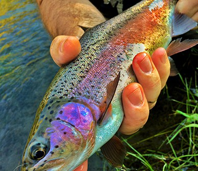 Redband Trout in Central Oregon