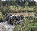 New beaver dams at Camp Polk Meadow Preserve